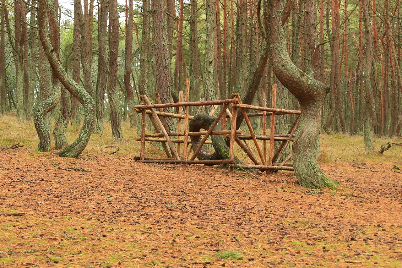 The Dancing forest. Curonian spit